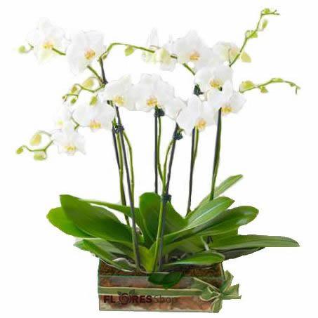 2709 Orquídeas elegantes