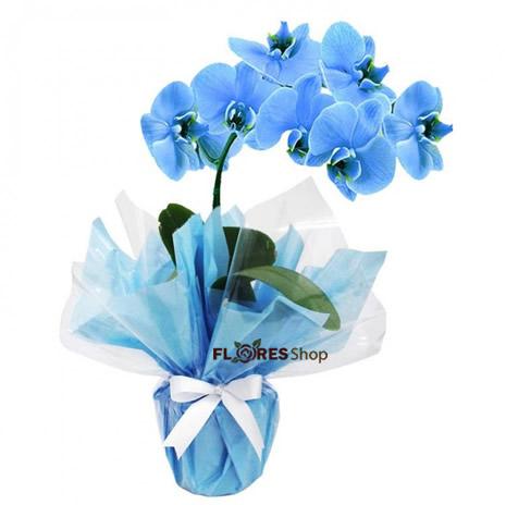 3016 Orquídea tingida de azul