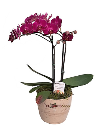 3181 Elegante Mini Orquídea