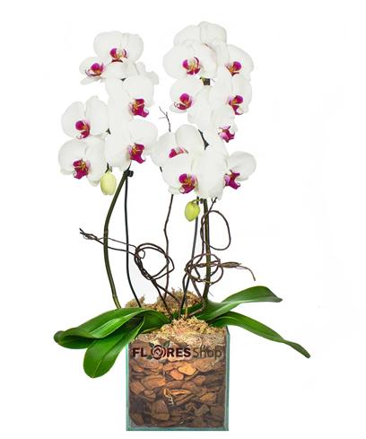 3374 Orquídea para amar