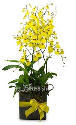 401 Orquídea Chuva de Ouro