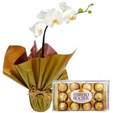 2253 Orquídea Phalaenopsis Branca e Chocolates