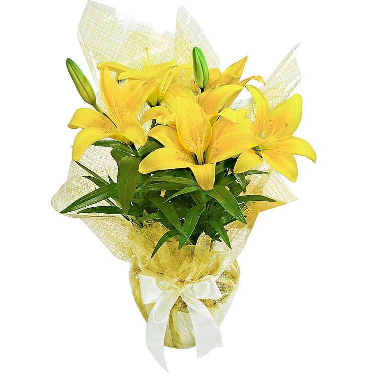 688  Lírio Amarelo Plantado