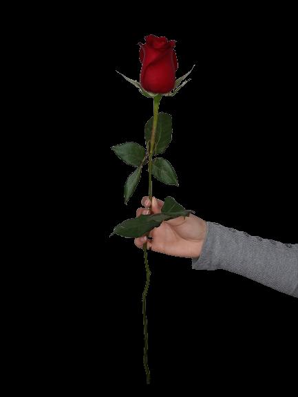 5336 Rosa Vermelha